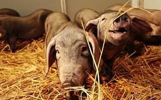 养猪众筹56小时破千万,网易味央何来如此号召力?