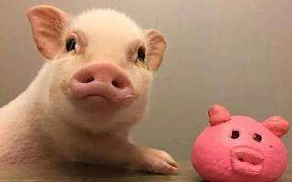 互联网公司养猪:AI养猪到底哪家强?