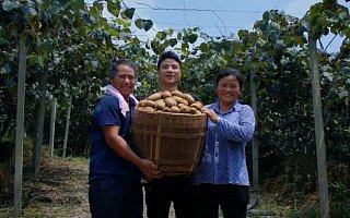湘西猕猴桃借苏宁拼购起飞 优质低价水果走入寻常百姓家