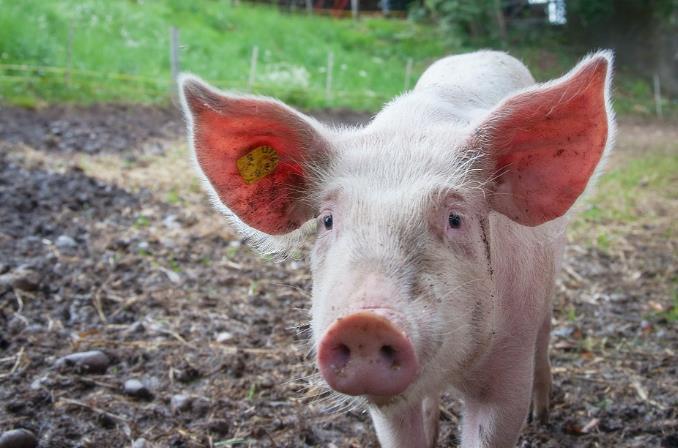 猪肉降价后 股价下跌 生猪巨头前总裁温的股份被非法减持和监管