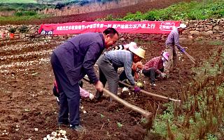 中国百合第一村:女性加工百合开淘宝,男人做饭看孩子