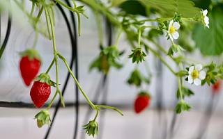 首届草莓AI种植比赛,人工智能队领先顶尖农人队