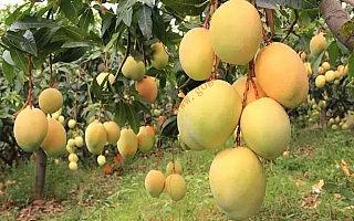 攀枝花芒果买卖 就上《攀枝花芒果网》 香浓 好味道