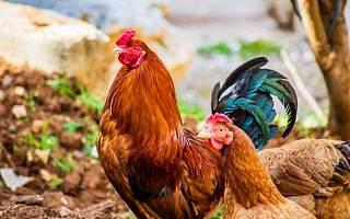 立华股份上半年预亏2.85亿元 猪价下降后拟募21亿元加码肉鸡等